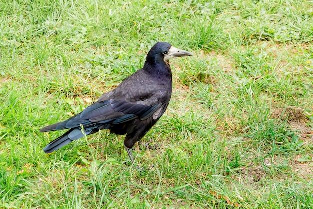 夏に緑の草の中を歩くブラックルーク(カラス)