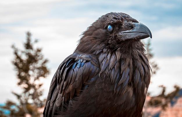 Черный гриф в национальном парке брайс. юта, сша
