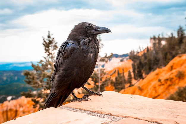 Черный стервятник смотрит налево в национальном парке брайс. юта, сша