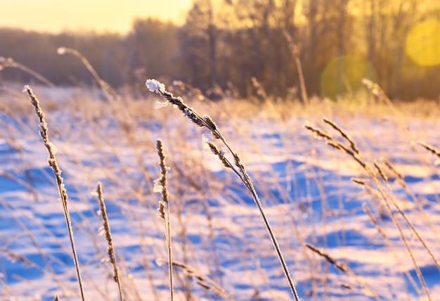 夕方の光の冬の草の葉野草の茎は雪で覆われています