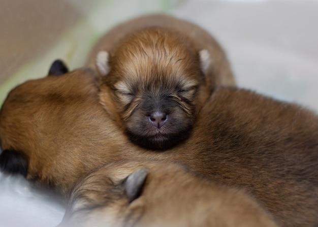 맹인, 갓 태어난 포메라니안 강아지가 다른 강아지에게 머리를 얹었습니다.