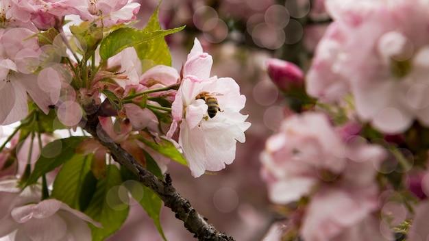 Цветущая ветка яблони весной