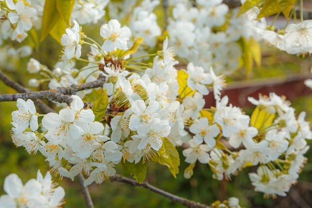 明るい太陽の光に咲く桜の枝