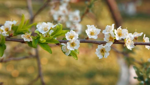 明るい太陽の光の中で咲く梅の枝
