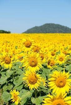 여름철 맑고 푸른 하늘 아래 여행자들에게 밝고 신선한 언덕에 위치한 시골 농장의 피는 해바라기 밭, 복사 공간 전면보기.