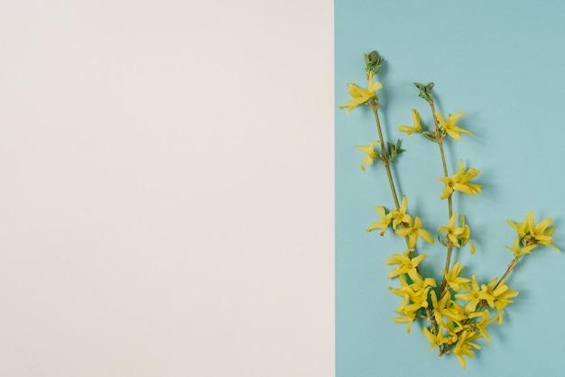 흰색과 파란색 배경에 피는 노란색 개나리 지점. 부활절 또는 어머니의 날을 위한 봄 카드