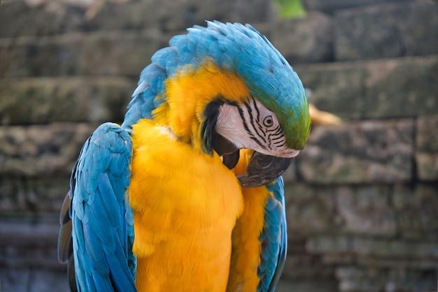 タイ動物園の青と黄色のコンゴウインコオウム