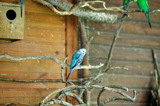 Синий полосатый попугай сидит на ветке