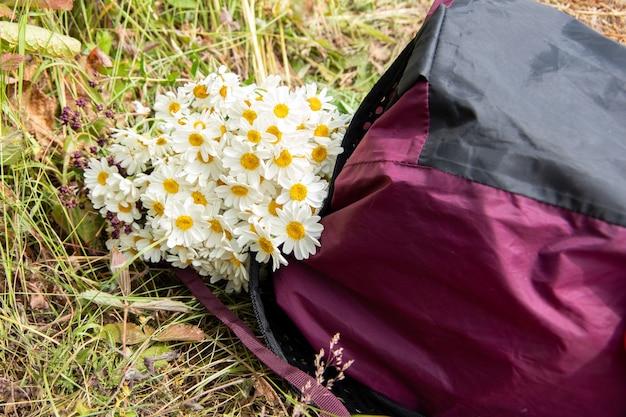 Букет ромашек лежит в бордовом рюкзаке на траве. естественный фон, выборочный фокус, копия пространства.