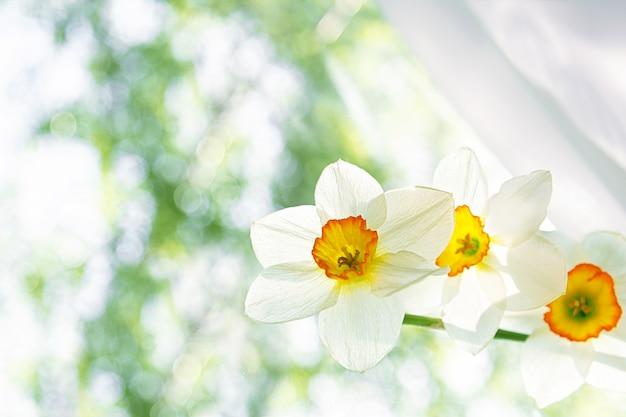 白い水仙のクローズアップの白い花の花束は窓の上に立ちます