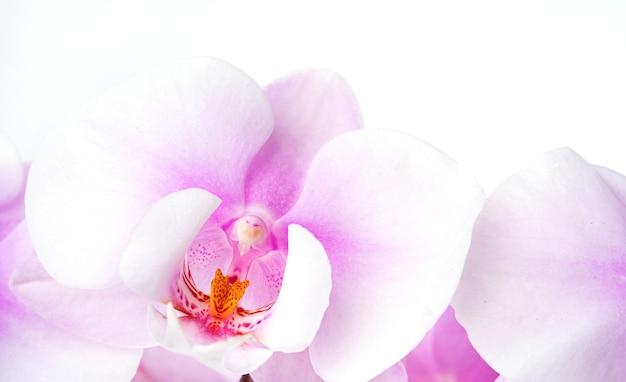 흰색 배경에 아름 답 고 파스텔 보라색 난초 호 접의 분기. 절연, 매크로 및 이미지를 닫습니다.