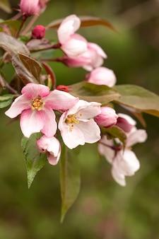 咲く野生のリンゴの木の枝。カレンダー、本、はがきのデザイン用の画像。セレクティブフォーカス。