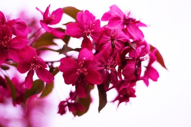 赤い花を持つ花の装飾的なリンゴの木の枝、前景に焦点を当て、背景をぼかし、選択的な焦点。春の花。