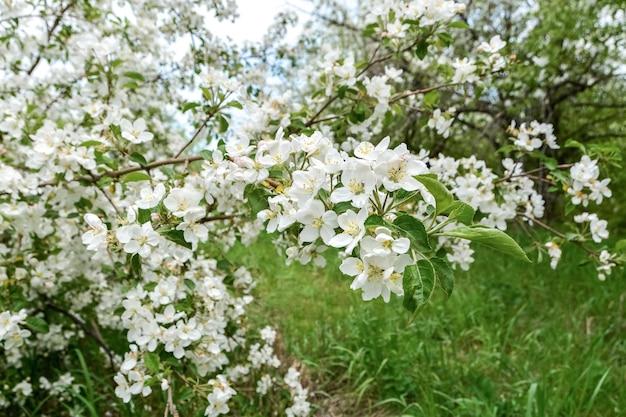 Ветка цветущей яблони в заброшенном саду крупным планом
