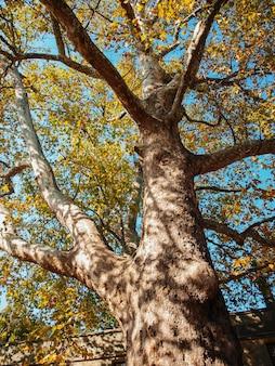 雲と青い空を背景に丸いシカモアの果実とシカモアの木の枝