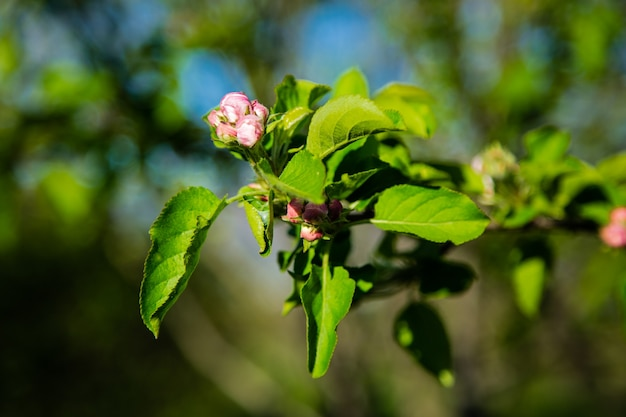 ぼやけた背景に太陽の光の中で未開花のつぼみが散らばっているリンゴの木の枝。高品質の写真