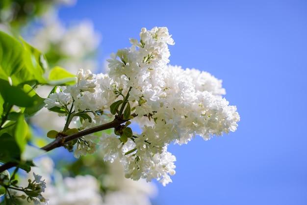 Ветка красивой белой сирени на фоне голубого неба весной в саду