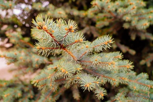 블루 스프루스 상록 침엽수 식물의 가지