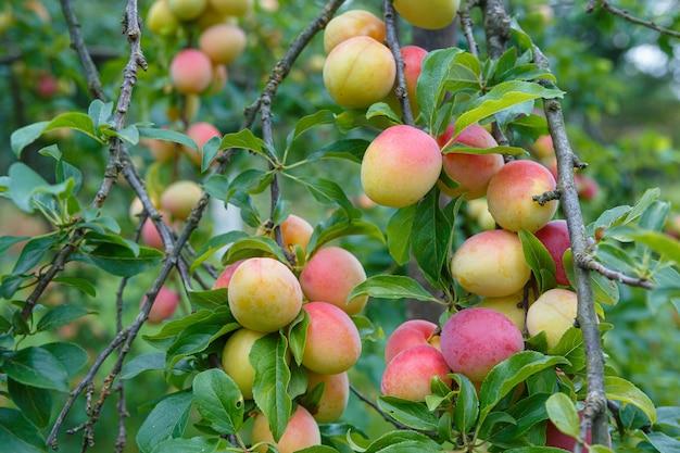 おいしい黄赤色の梅の枝