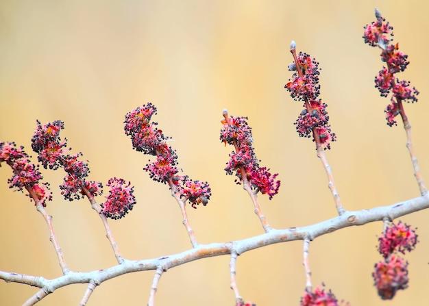 開花ニレの枝