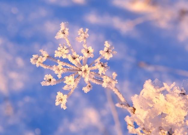 冬の草の枝野草の花序は雪の結晶で覆われています