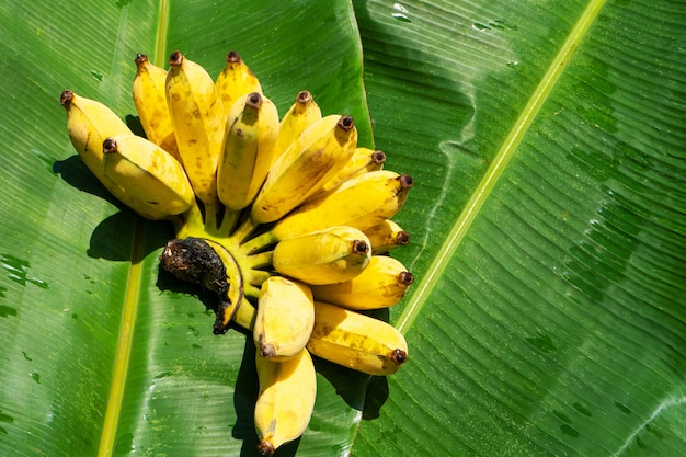 緑のバナナの葉にジューシーな黄色のバナナの枝。熟したジューシーなフルーツ。