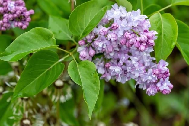Ветвь сиреневых цветов с зелеными листьями крупным планом на размытом фоне весной, мягкий фокус.