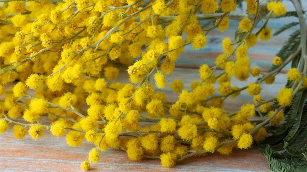 푹신한 섬세한 꽃 다발이있는 미모사의 가지. 노란색 미모사 나무 배경입니다. 봄 방학과 꽃 장식의 개념.