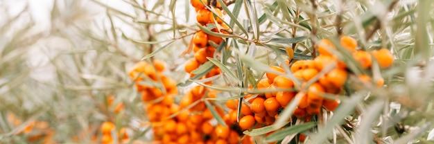 Ветвь оранжевых ягод облепихи заделывают. много полезных ягод облепихи на кусте с зелеными листьями. ягода, из которой сделано масло. расфокусированная или малая глубина резкости. знамя