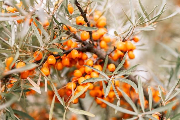 Ветвь оранжевых ягод облепихи заделывают. много полезных ягод облепихи на кусте с зелеными листьями. ягода, из которой сделано масло. расфокусированная или малая глубина резкости