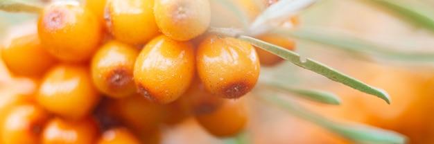 Ветка оранжевых ягод облепихи увеличена крупным планом. много полезных ягод облепихи на кусте. ягода, из которой сделано масло. расфокусированная или малая глубина резкости. баннер. вспышка