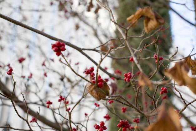 На дереве растет ветка спелых ягод рябины. корм для птиц на ветках рябины. осенние листья оранжевой рябины на фоне голубого неба. пришла осенняя пора.