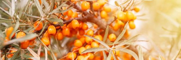 Ветка ягод облепихи заделывают. много полезных ягод облепихи на кусте с зелеными листьями. ягода, из которой сделано масло. расфокусированная или малая глубина резкости. баннер. вспышка