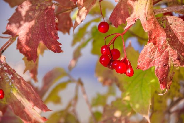 Ветвь дерева калины. красные листья. осень. ягодное дерево. фруктовое дерево.