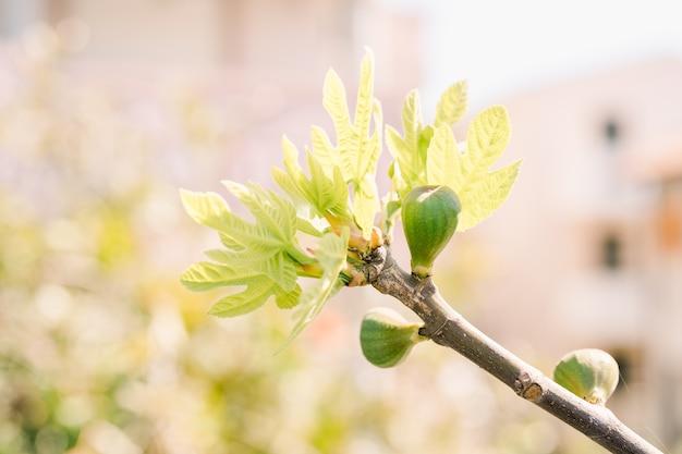 Ветка фигового дерева с мелкими плодами и недавно распущенными листьями