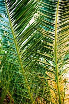 モンテネグロの枝ヤシの木のクローズアップナツメヤシ