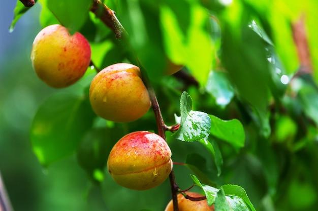 Ветка с абрикосами и зелеными листьями в летнем саду