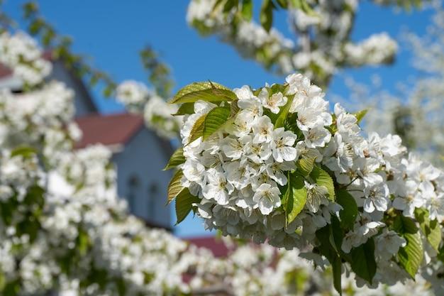 푸른 하늘을 배경으로 봄에 피는 벚나무의 흰 꽃송이가 있는 가지