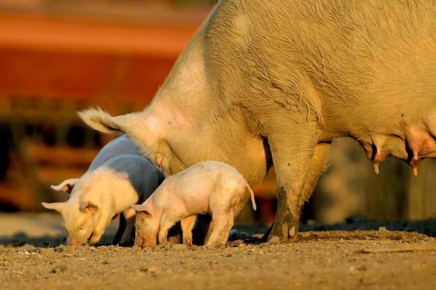 繁殖雌豚が豚を農場の周りを歩いています