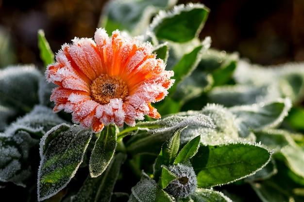 Яркий цветок - календула, покрытая инеем. первые заморозки в саду