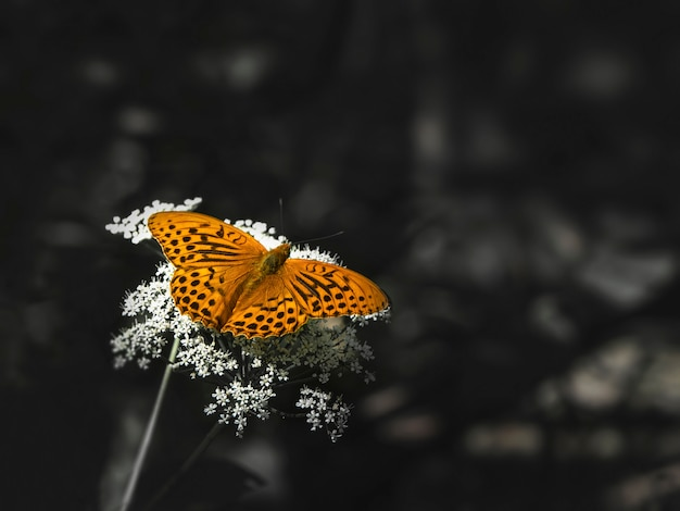 ぼやけた暗い草に対して白い花の上に座って真珠蝶の明るいオレンジ色の大きな母