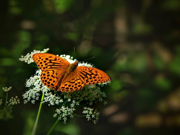 ぼやけた緑の芝生に対して白い花の上に座っている真珠蝶の明るいオレンジ色の大きな母。閉じる
