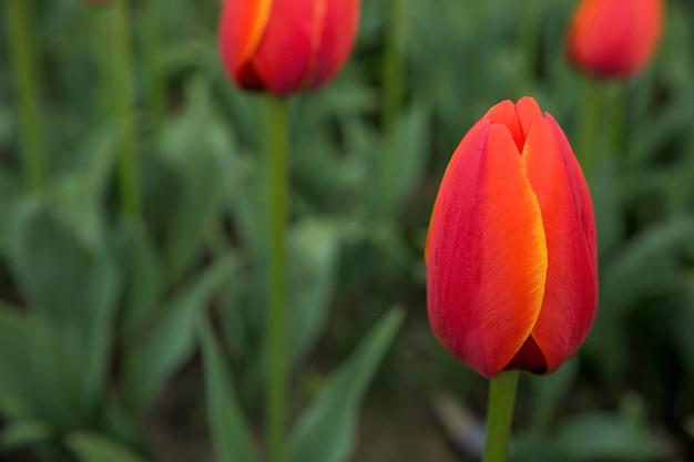 真っ赤なチューリップの花の背景。マクロボケショット。