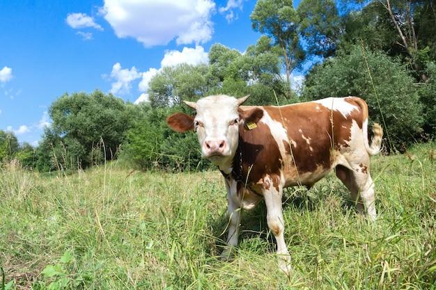 Коричнево-белый теленок стоит на зеленом лугу
