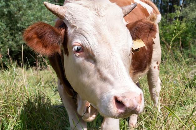 Коричнево-белый теленок стоит привязанным на зеленом лугу