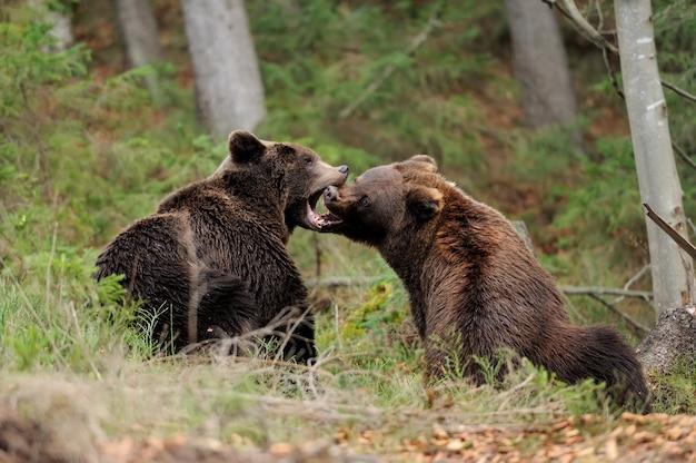 Бурый медведь в лесу