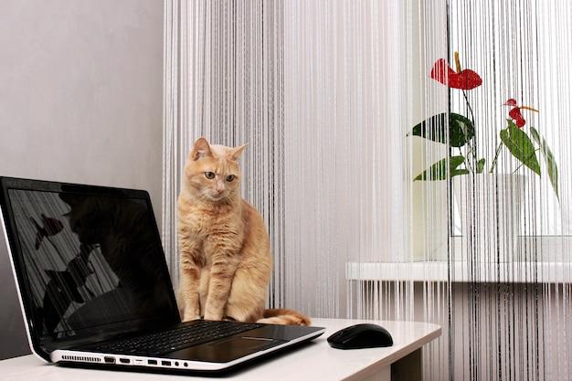 홈 인테리어에 노트북 근처 갈색 고양이. 창턱에 국화 꽃.