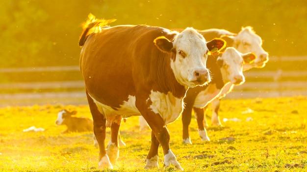 Коричневая корова идет к камере через залитое солнцем пастбище среди других коров. заходящее солнце.