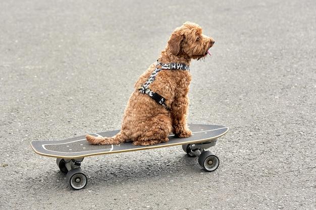 茶色の犬がアスファルトの背景にあるスケートボードに座っています。犬はスケートボードに乗っています Premium写真