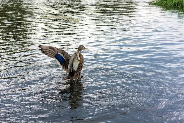 Коричневая утка с фиолетовыми бликами на крыльях взлетает с поверхности реки